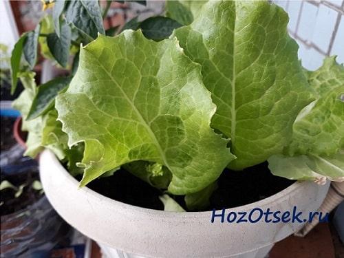 Выращивание листьев салата в горшке на балконе